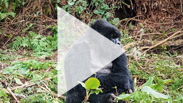 TREKKING zu den Berggorillas